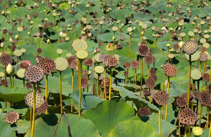 LotusPods
